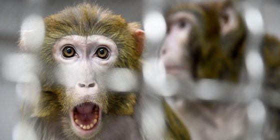 بحثهای اخلاق در پی ترکیب سلولهای انسان و حیوان